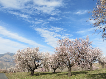 Almond blossom in Andalucia